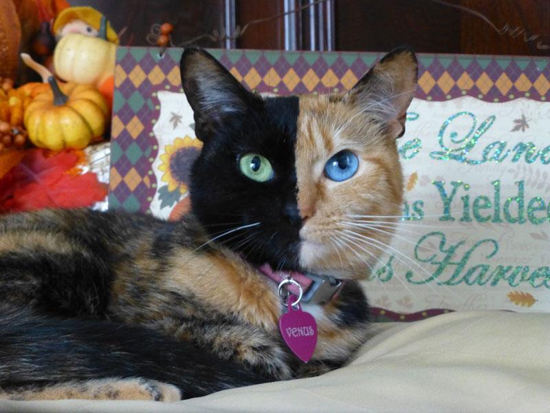 venus-chimera-cat-two-face-half-black-half-tabby-060714