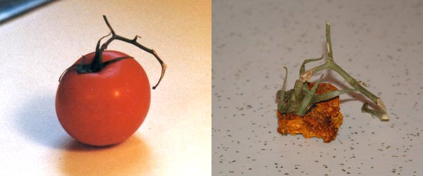 oneyearlater_tomato
