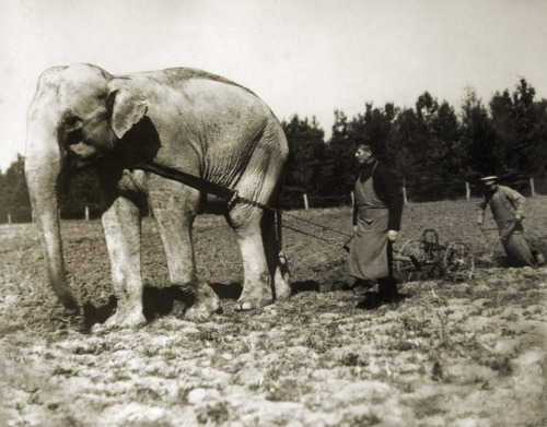 1900 Bulgarian peasants using an elephant to plow land 1900