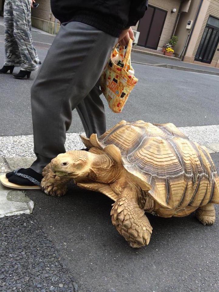 giant-tortoise-for-walk-tokyo-2