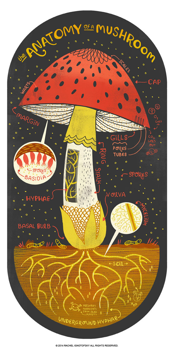 anatomy-of-a-mushroom