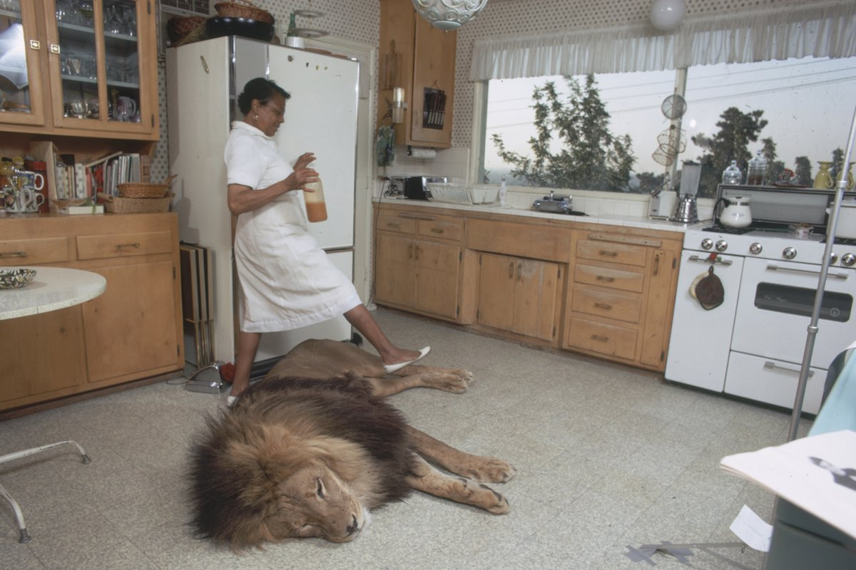 Subject: Maid stepping over pet lion named Neil in the home of Tippi Hedren and Noel Marshall.  Sherman Oaks, California May 1971 Photographer- Michael Rougier Time Inc Owned Merlin- 1200548