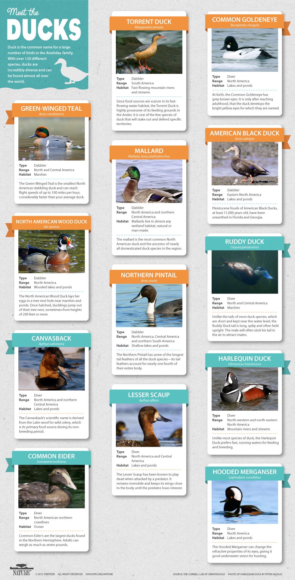 duck-breeds-2