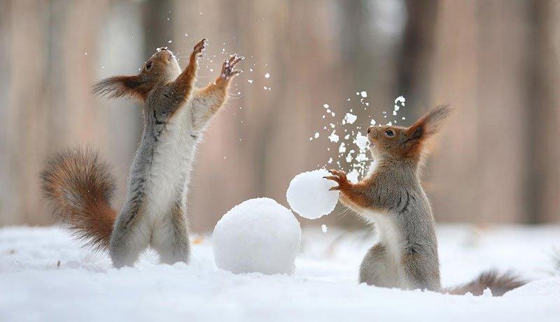 squirrel-snowball-fight-photos-by-vadim-trunov-5