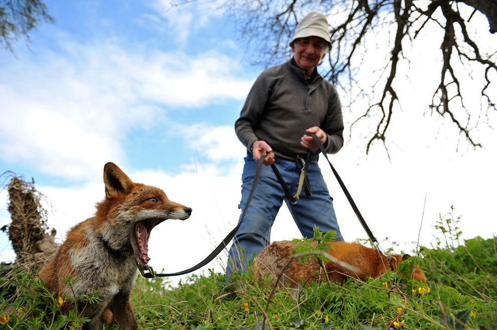 irishman-rescues-foxes-and-they-stay- with-him-forever-1