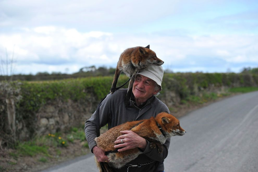 irishman-rescues-foxes-and-they-stay- with-him-forever-2