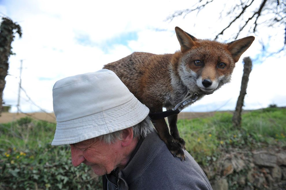 irishman-rescues-foxes-and-they-stay- with-him-forever-3