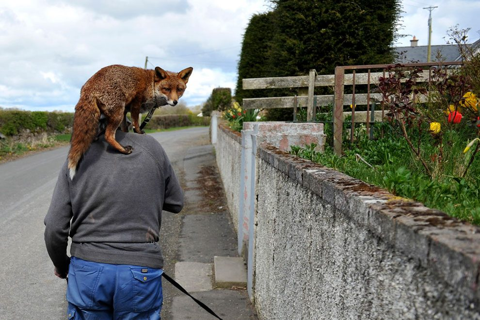 irishman-rescues-foxes-and-they-stay- with-him-forever-4