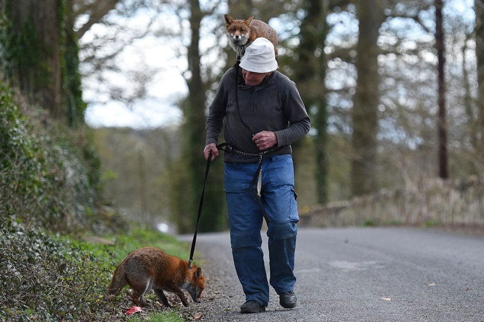 irishman-rescues-foxes-and-they-stay- with-him-forever-5