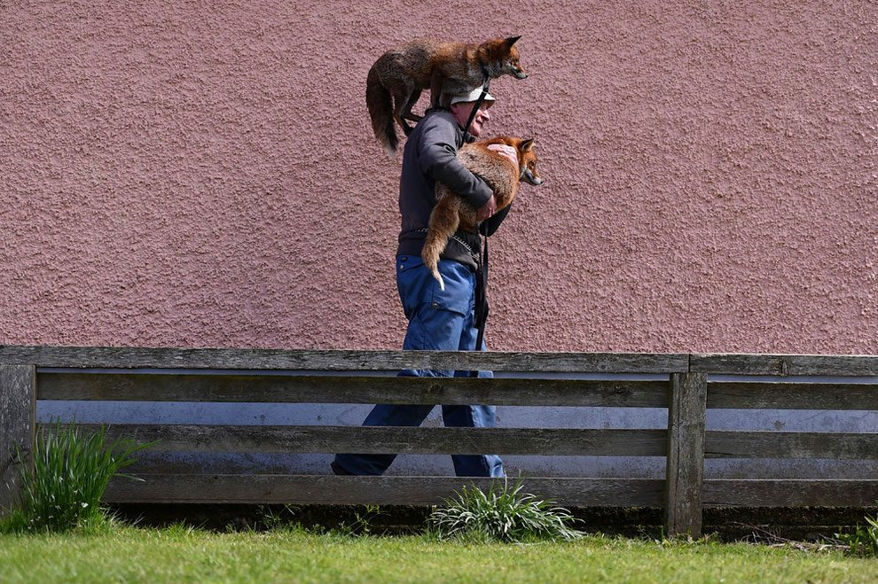 irishman-rescues-foxes-and-they-stay- with-him-forever-6