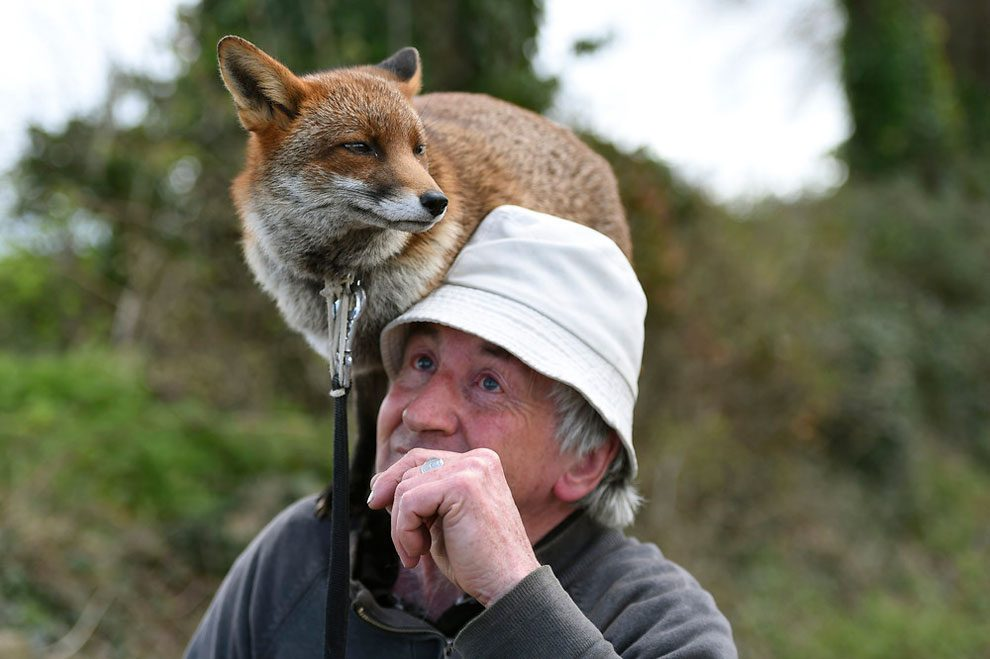 irishman-rescues-foxes-and-they-stay- with-him-forever-7