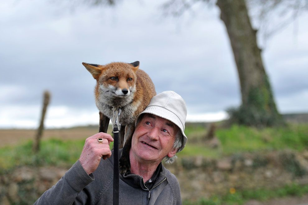 irishman-rescues-foxes-and-they-stay- with-him-forever-9