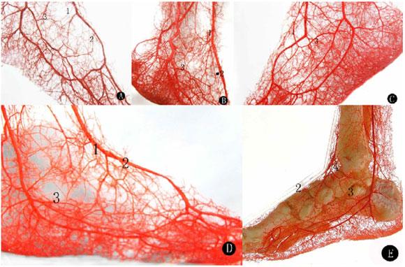 liquid limbs human arteries feet