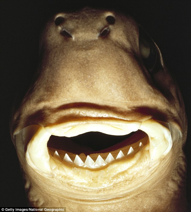 mouthfuls-of-fish-teeth-Cookie-Cutter-Shark-2