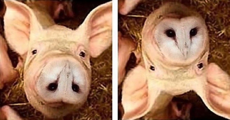 pig-owl-upside-down-illusions