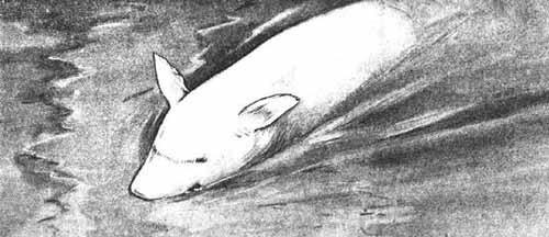 pig-shark-illusion-1