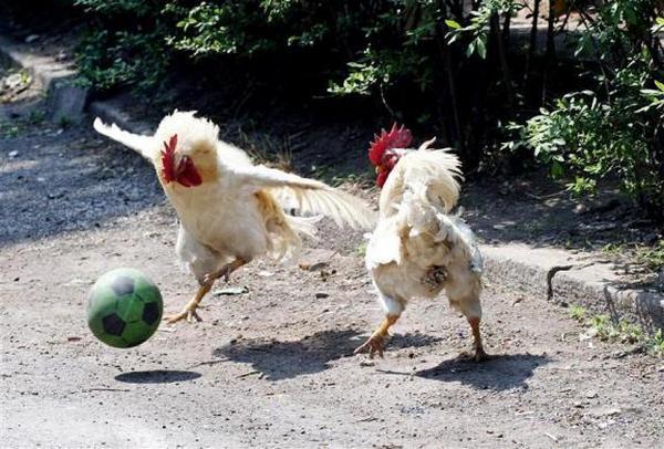chicken-football-soccer