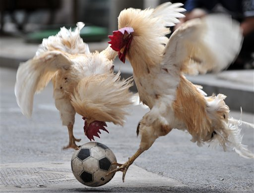 Two roosters taught by their owner Zhang Lijun, unseen to play with a football in Shenyang in northeast China's Liaoning province Thursday July 8, 2010. (AP Photo) ** CHINA OUT **