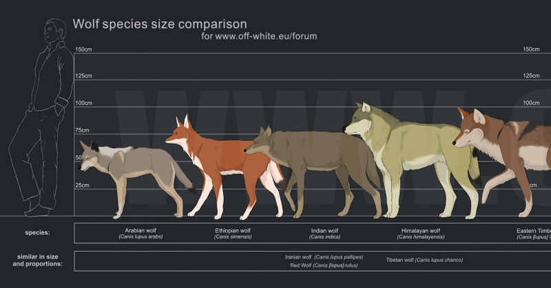Size Comparison of Different Wolves | Earthly Mission