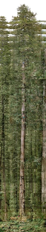 tallest, tree, rain forest