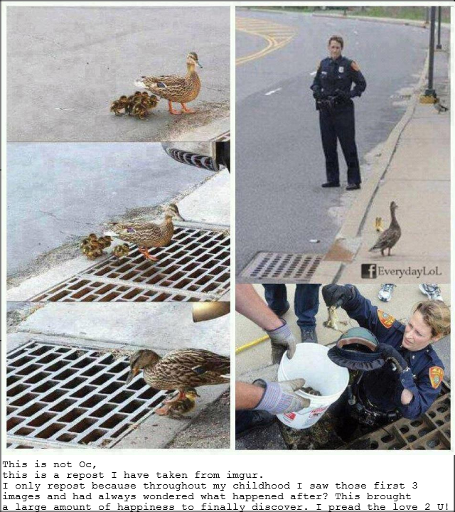 ducklings fall in sewer