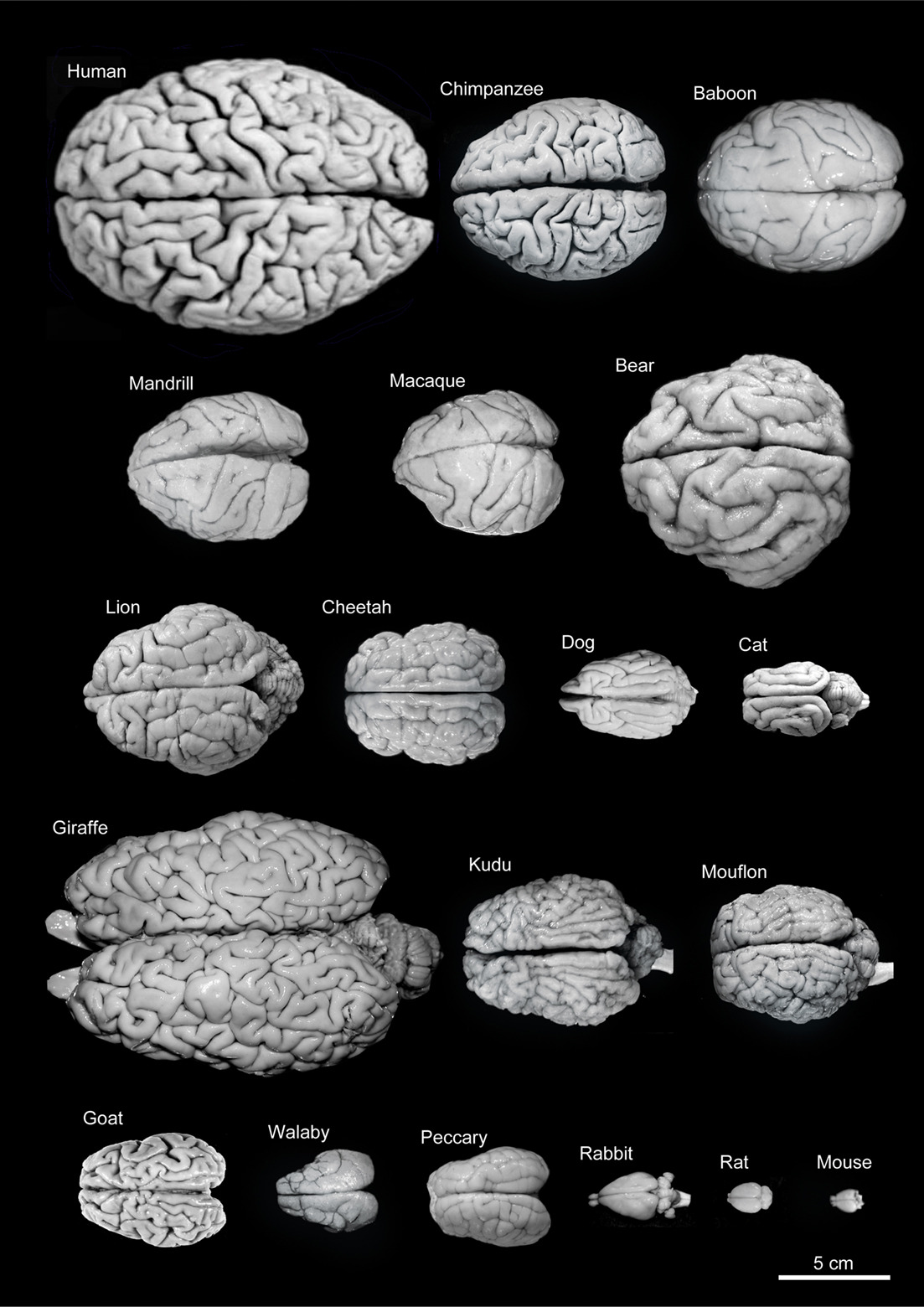 The (Not That) Great Variety of Brains
