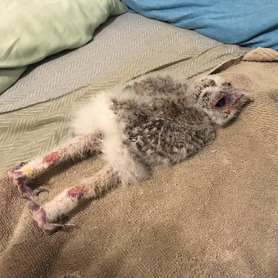 Here S Proof That Baby Owls Sleep Face Down Just Like Baby Humans Earthly Mission