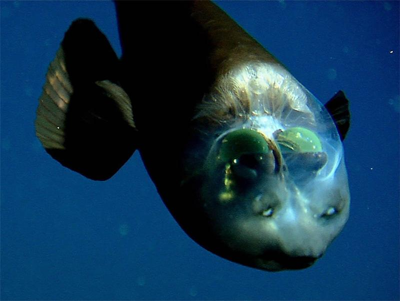 Scientists Solve Mystery of Deep-Sea Fish With Tubular Eyes and Transparent Head 16